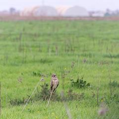Coruja-do-nabal | Asio flammeus | Short-eared Owl (Elisa Brás) Tags: asioflammeus corujadonabal meljb pontadaerva portugal shortearedowl strigidae strigiformes typicalowls aves birds