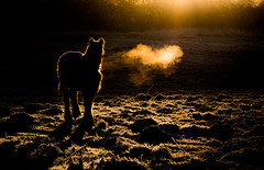 A Cold Start (Peter Quinn1) Tags: sunrise horse hoarfrost frost acoldstart rotherham bluemansbower rimlighting winter january southyorkshire lowkeyimage