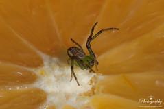 Orange star (gelein.zaamslag) Tags: thenetherlands nederland holland spider crabspider macro macro105mm orange fruit insects green geleinjansen nikon olympicgames sinaasappel