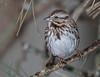 Song Sparrow (jerryherman1) Tags: nature bird maryland sparrow songsparrow