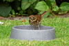 Young Song Thrush (bevanwalker) Tags: dish dog lawn green song young slugs snails worms