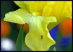 IMG_6572 Tongue Depresser 6-9-17* (arkansas traveler) Tags: beetle insects bichos bugs flowers iris colors flowerscolors zoom telephoto nature naturewatcher natureartphotography bokeh bokehlicious