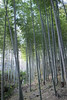 Bamboo Forest (fredMin) Tags: asia japan bamboo hill kyoto travel forest fujifilm xt1
