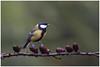 Great tit - Koolmees (Parus major) ... (Martha de Jong-Lantink) Tags: 2018 boshut greattit koolmees parusmajor vogel vogelhut vogels
