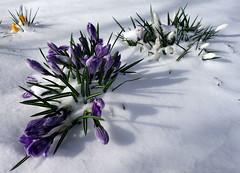 Spring Snow (wheehamx) Tags: seamill snow west kilbride ayrshire sony rx100