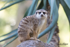 Meerkat (ToddLahman) Tags: meerkat meerkatmonday sandiegozoosafaripark safaripark escondido eyelock canon7dmkii canon canon100400 closeup portrait outdoors beautiful