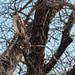 Red-shouldered Hawk (Stephen J Pollard (Loud Music Lover of Nature)) Tags: ave bird birdofprey averapaz avedepresa raptor redshoulderedhawk buteolineatus aguilillapechorojo