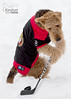 "Newest member of the Ottawa Senators (Keshet Rescue) Tags: rescue kennel kennels adoption ""dog adoption"" ottawa ontario canada keshet large breed dogs animal animals pet pets ""blood bank"" interactive game video field tree forest wood park dog cold snow senators hockey stick puck sports jersey airedale terrier"