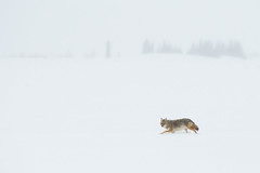 Coyote In A Snow Storm (Amy Hudechek Photography) Tags: coyote snow storm blizzard wyoming nature wildlife