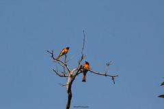 Scarlet Minivet (SujithPhotography) Tags: scarletminivet anejhaributterflycamp kollur karnataka karnatakatourism birds westernghats forest