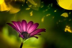 Under the lighting (Tomo M) Tags: lightopia display night nightlight bokeh shadow petal outdoor smileonsaturday lighteffect