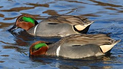 Green-winged Teal (vnelson) Tags: ducks