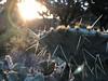 IMG_5604 (cchapmanus) Tags: christopherwaynechapman sunrise cactus green bright light texas western