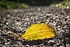 In The Path (lorinleecary) Tags: cambria centralcoastcalifornia santarosacreektrail bokeh gravel green leaf path yellow