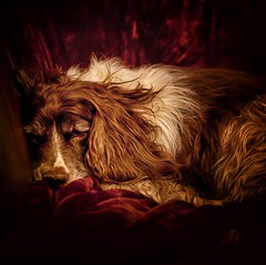 Sickness ...... (Missy Jussy) Tags: mollie molliemunch mansbestfriend dog dogportrait sickness sleeping pet animal animalportrait englishspringer springerspaniel spaniel canon canon5dmarkll 50mm ef50mmf18ll canon50mm fantastic50mm primelens fixedfocallength light