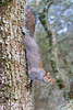 Sometimes to get what you want you just have to stretch yourself ! (www.andystuthridgenatureimages.co.uk) Tags: squirrel grey tree oak stretch stretched winter elongated coming down