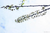 IMG_1671-2 (Haru2212) Tags: flower flora apricot winter canon nature canon450d natural naturalbeauty magic blend blossoms cây cherry sunday landscape ngoàitrời green lightroom vietnam life