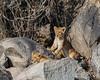 Lion Cubs (mayekarulhas) Tags: canon canon500mm canon1dxmark2 lion cubs southafrica safari krugernationalpark