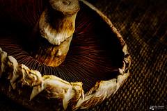 Mushroom (sandygortol) Tags: pilz mushroom braun brown makro macro samsung nx 30 s1855csb pflanze food plant lebensmittel lebewesen creature bōlētus champignon