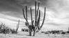 carnegiea gigantea (rey perezoso) Tags: 2011 losgigantes méxico bajacalifornia blackandwhite cactus carnegieagigantea decay