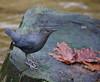 AmDip-Noons creek (Robertmoose) Tags: dipper american portmoody noonscreek hatchery