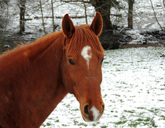 02/2018 (Vulpe Photographie) Tags: animal horse cheval hiver neige nature naturelover