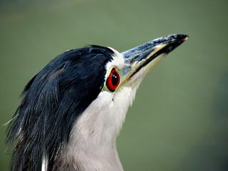026 Night Heron