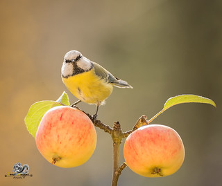 blue tit standing on a branch with apples
