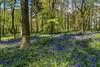 Bluebell Wood (robinta) Tags: spring flowers woods woodland landscape ngc england sunderland trees colour colors pentax sigma ks1 pentaxart sigma18200hsmc nature vibrant flora