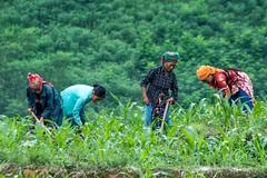 Těžká práce jen pro ženy (zcesty) Tags: vietnam23 pole domorodci vietnam dosvěta hàgiang vn