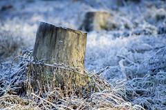 Cold Breath (shetanchan) Tags: 135mm zuiko135mm zuiko135mmf28 winter winterwonderland frost snow ice cold forest forestlove forestview treestump