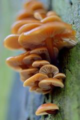 Flammulina Velutipes (Steph*Powell) Tags: flammulinavelutipes velvetshank fungi mushroom nikond5100 35mm
