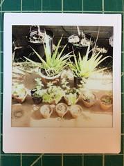 Succulent arrangement Lomo Instax