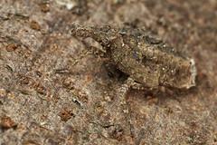 Camouflaged fulgorid hopper nymph (pbertner) Tags: fulgoridhopper rainforest colombia southamerica taironaka caribbean camouflage