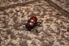 カブトムシ (Trypoxylus dichotoma) (Hachimaki123) Tags: 見稲荷大社 fushimiinaritaisha 日本 japan 京都 kyoto カブトムシ 虫 動物 animal insect insecto coleopter coleóptero coleoptero trypoxylusdichotoma