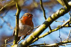 24.02.2018 Arne (4) (Kotatsu Neko 808) Tags: arne dorset england uk spb rspbarne birds robin