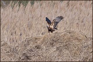 Marsh Harrier (image 1 of 2)