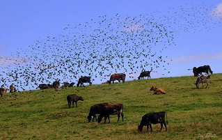 THE FLIGHT of the STARLINGS