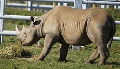 Yorkshire Wildlife Park 20.02.2018 008 (Andrew Burling (SnapAndy1512)) Tags: yorkshirewildlifepark20022018 yorkshire yorkshirewildlifepark blackrhino rhino animals zoo