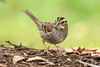White Throated Sparrow (NeilCastle) Tags: bird birds cary wildlife northcarolina backyard whitethroatedsparrow