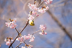 _DSC0807.jpg (plasticskin2001) Tags: mejiro sakura flower bird