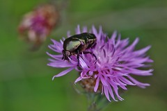 Bug (Hugo von Schreck) Tags: hugovonschreck bug käfer insect insekt macro makro canoneos5dsr tamron28300mmf3563divcpzda010