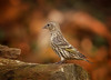 The Layover (Kathy Macpherson Baca) Tags: bokeh animal animals bird birds aves ave pinesiskin migrate fly planet earth world preserve feathers pine trees nature wildlife
