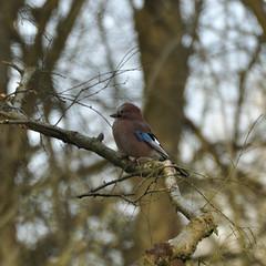 Jay (N'GOMAPHOTOGRAPHY) Tags: birds nature robin jay woodpecker shovler duck goldeneye tufty woods nuthatch rabbit coventry warwickshire