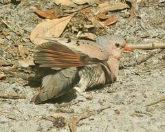 Blending In (ironicdream) Tags: commongrounddove bird ground sand leaves nature outside dove florida backyard brown twigs tampabay canon explore explored