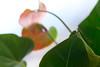 Calla (Just Colours) (macplatti) Tags: xt2 xf55200mmf3548rlmois calladaylight blurred flora flower window fenetre fenster green grün koblach vorarlberg austria aut