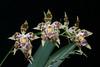Odontoglossum Harvengtense spike (Guido Deburghgraeve) Tags: odontoglossum naturalhybrid