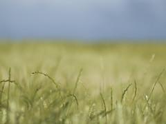 Sensation ... *----+ (Titole) Tags: grass shallowdof titole nicolefaton sky field chiendent 15challengeswinner friendlychallenges