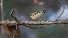 Goldcrest in forest (1/3) (Franck Zumella) Tags: golden crowned kinglet bird oiseau small petit goldcrest roitelet huppe huppé europe 5g nature wild wildlife forest foret tree arbre epine branche branch green vert pine sapin spike sony a7s