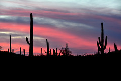 Arizona Sunset (NaturalLight) Tags: pink sunset saguaro cactus organpipecactusnationalmonument arizona